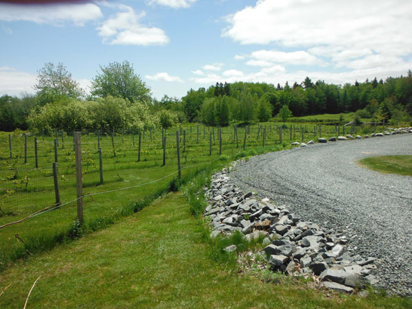 Maine Vineyard
