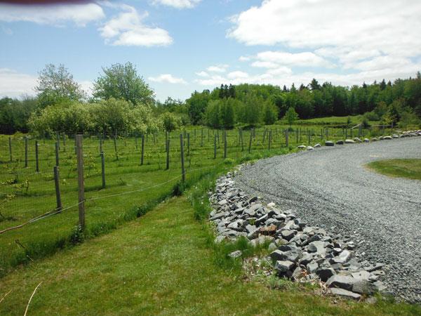 Maine Vineyard
